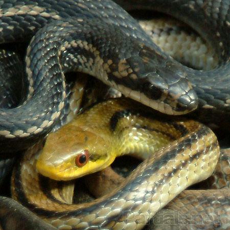 シマヘビの画像 p1_28