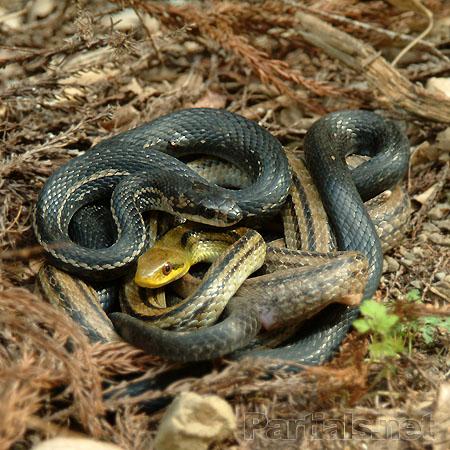シマヘビの画像 p1_22
